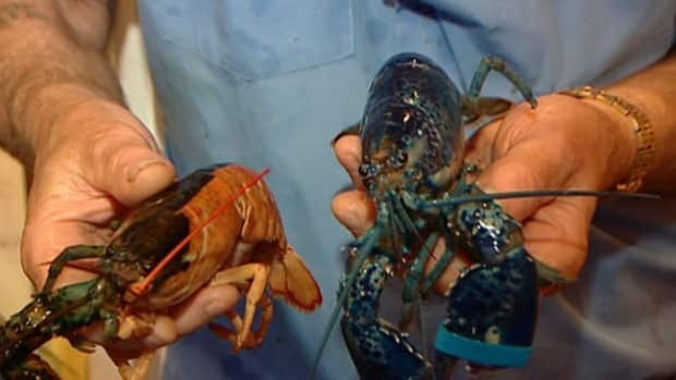 Two royal blue lobster caught in waters off Prince Edward Island have been named after the Royal couple.