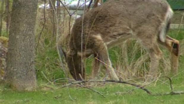 Kennebecasis Valley residents are debating whether a deer cull is needed in the area. (CBC)