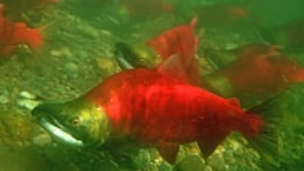 Government scientist Kristi Miller was the lead author of an article published in Science in January 2011 that suggested a virus may be linked to premature deaths in migrating sockeye salmon.