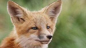 tp-110204-red-fox-ap-6770197