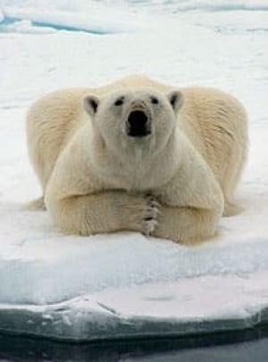polar-bear-barrow-ap-1509770-220px