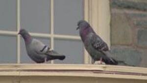 ns-si-pigeons