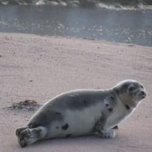 nl-beached-seal2
