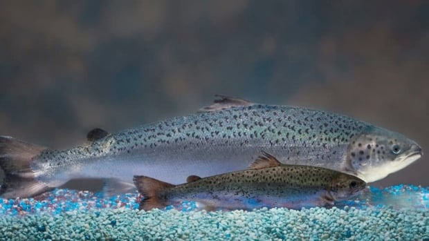 AquaBounty's genetically-modified salmon grow twice as fast as regular salmon, and were recently approved as food in the United States.