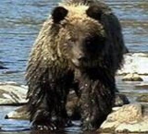 mi-bear