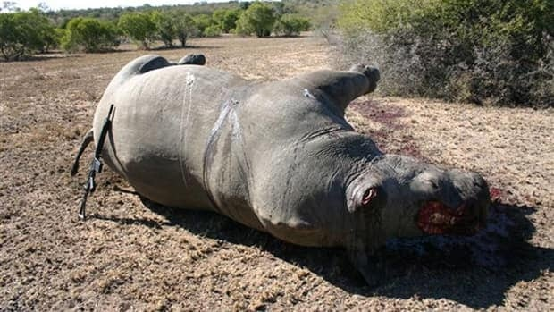 The corpse of a slaughtered rhino lays on the ground in a national park in South Africa in January 2009. South Africa alone lost 333 rhinos last year and so far this year has lost more than 70, according to IUCN, the world's oldest and largest environmental network.