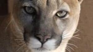 si-cougar-4115336-220
