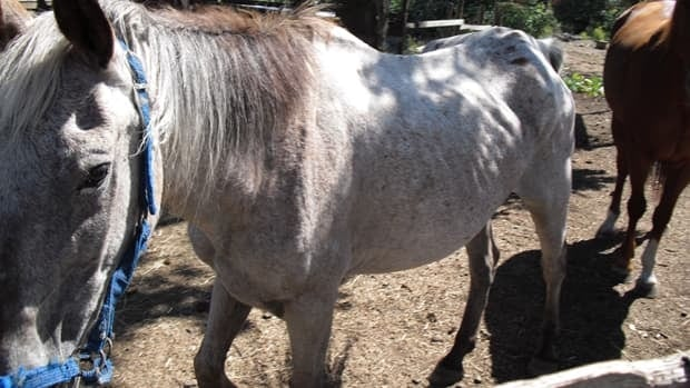 Jalupae, a 27-year-old Appaloosa, seen before his death.