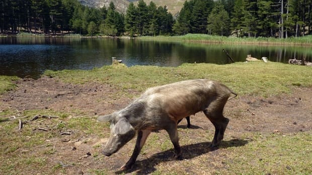 In this photo, wild pigs pass by the Creno lake in the French island of Corsica in 2009. Christina Lake, B.C. is dealing with wild pigs in 2011, after more than two dozen escaped from a farm.
