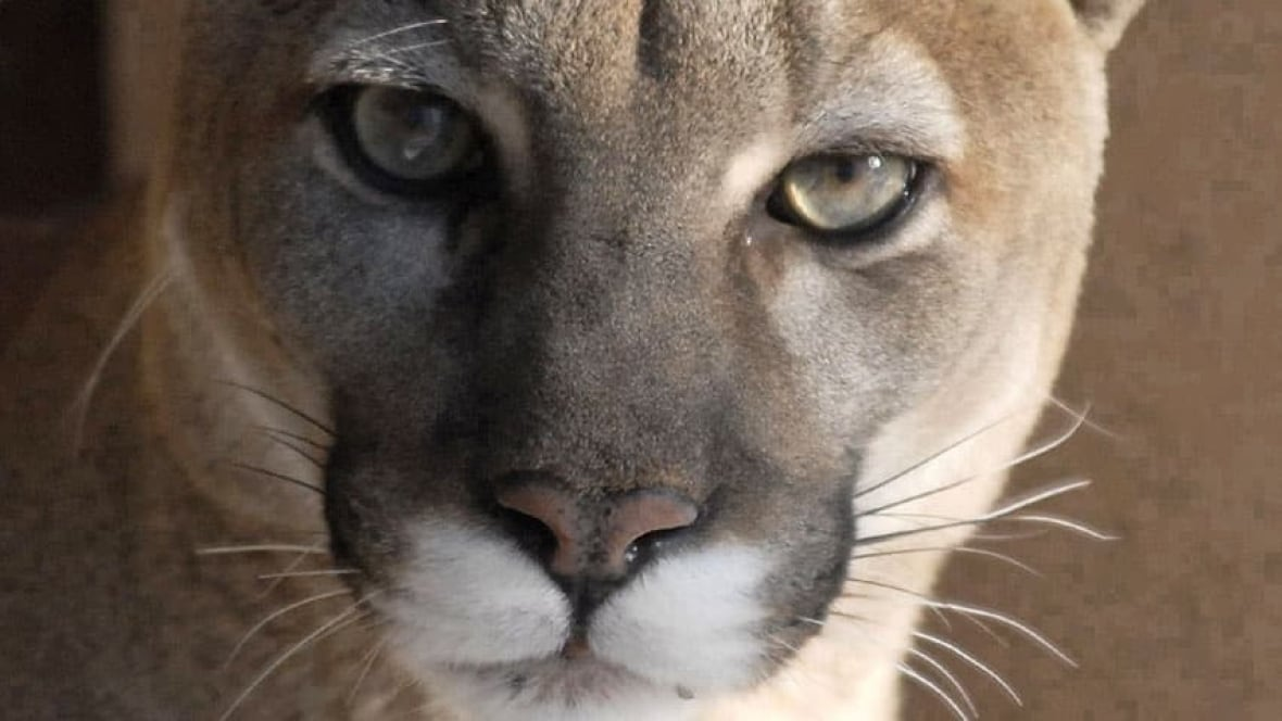 cougar site rencontre north bay