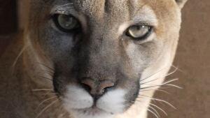hi-cougar-4115336-852