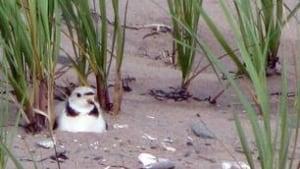 ns-plover-nesting