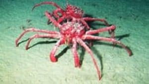 sm-220-king-crab-kheirman-ghent-university