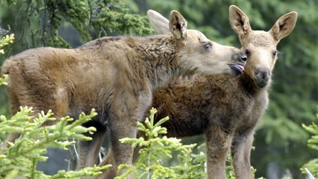 A moose calf reaches to lick its sibling in this June file photo. The annual moose hunting season begins this weekend in northern Ontario, but unseasonably warm temperatures could delay the hunt for some local residents.