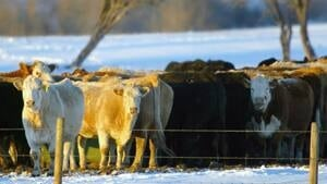 ins-cows-615687