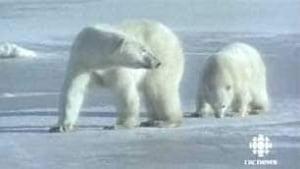 tp-polar-bears-pair-cbc