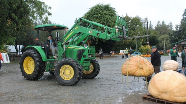 Pumpkins weighing over a thousand pounds need to be lifted with the help of chains, ropes and tractors at the Aldor Acres Family Farm in Langley, B.C.
