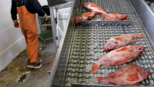 Redfish is one of the few species of New England groundfish that's considered completely healthy.