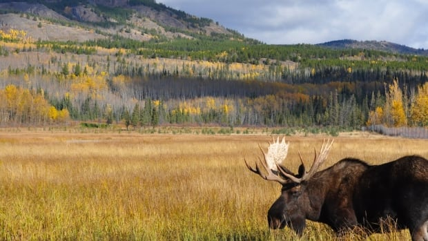 Scientists suspect infestations of winter ticks may contribute to declining moose populations in the United States.