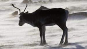 tp-caribou-arctic-cp-760712
