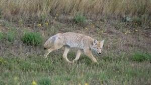 sk-coyote-vera-csada091111