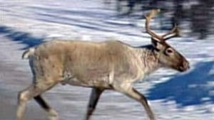 tp-caribou100221_16x9_xtralarge_1