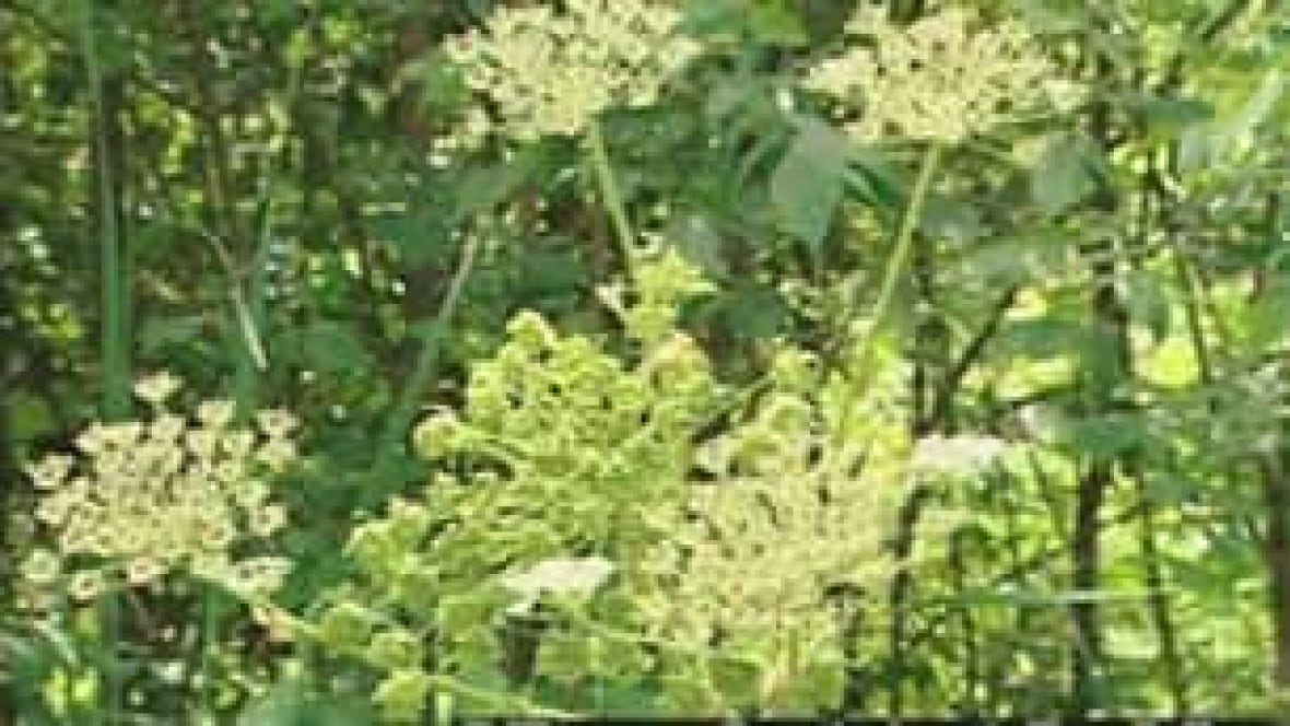 Toxic Invasive Weed Hits Eastern Ontario Ottawa Cbc News