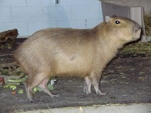 cgy-capybara