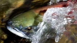 tp-salmon