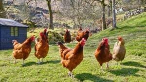 yard-chickens-inside