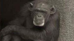 tp-pansy-chimp