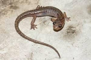 chiropterotriton-moaueri-salamander-by-sean-rovito-300px