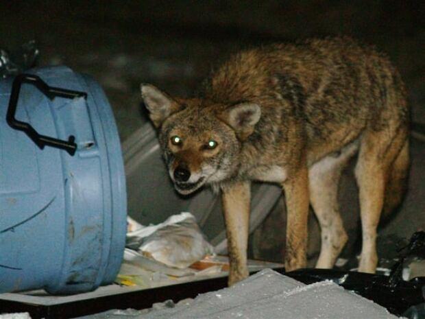 ottawa-090825-coyote-garbage-banner