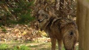 ns-coyotetopjpg_1