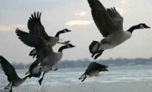 canada-geese-cp-2642465
