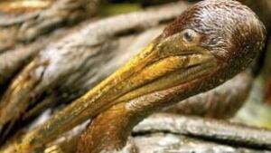 tp-oil-pelican