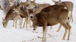 cgy-mule-deer