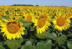 Sunflower 7989154