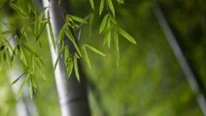 iStock_bamboo