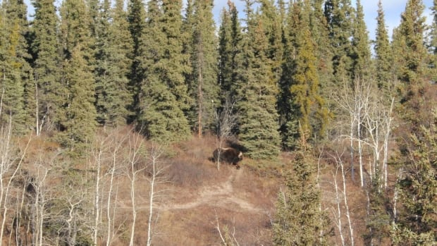 A group of Yellowknifers out for a hike spotted this muskox grazing near Cameron Falls on Saturday. N.W.T. wildlife officials say it's the first time a muskox has been seen in this area.