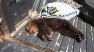 tp-pei-dead-bear
