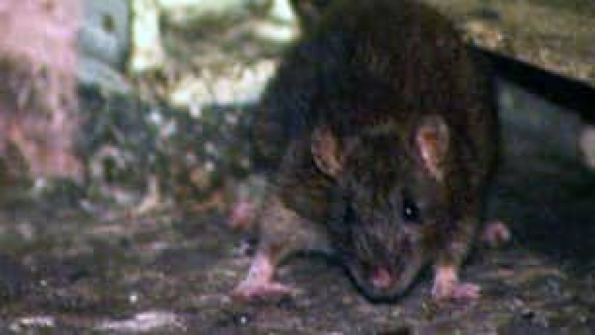 Rat Infestation Drives Woman From Home British Columbia Cbc News