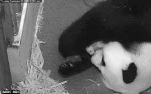 pandacam-washington-zoo