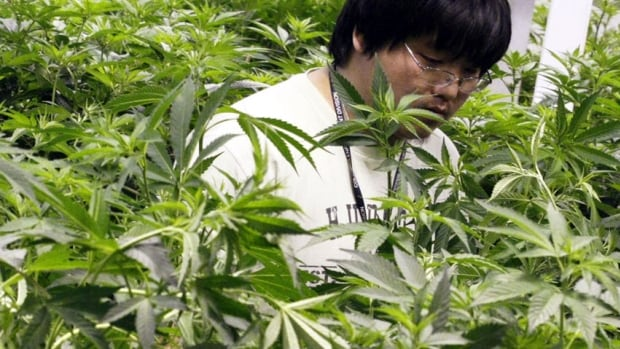 Growth technician Mike Lottman moves through the marijuana plants in a medical marijuana centre in Denver on April 2, 2012. The federal government's move to bring in new rules for the medical marijuana industry is generating interest from U.S. companies.