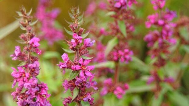 Purple loosestrife is a wetland plant that was introduced to the east coast of North America during the 19th century. Since then, it has spread as far south as Texas, as far north as northern Ontario and Newfoundland and as far west as B.C., choking out native plants.