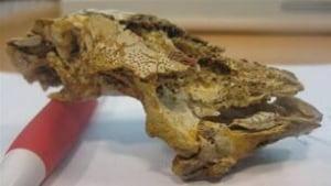 tp-fossil-fish-head