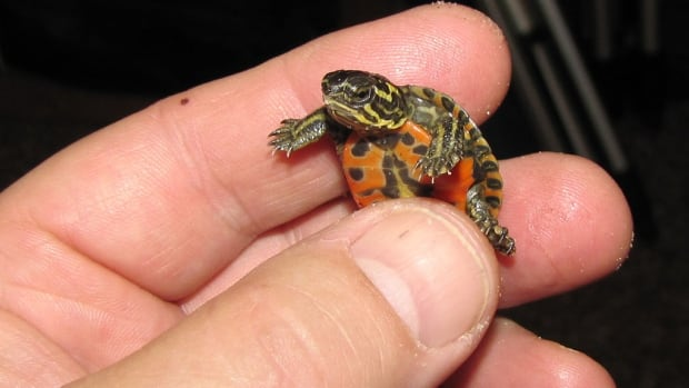 Doug Collicutt is raising a clutch of painted turtles, whose nest was accidentally dug up at Grand Beach in July.