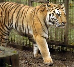 calgary-tiger-cp-7440037