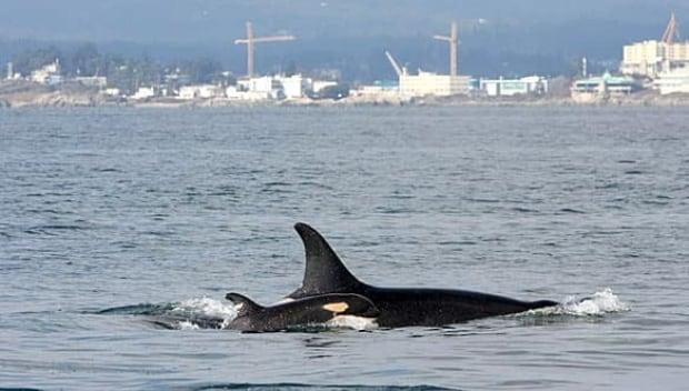 bc-090218-whale-calf-j44-mark-malleson-FULL