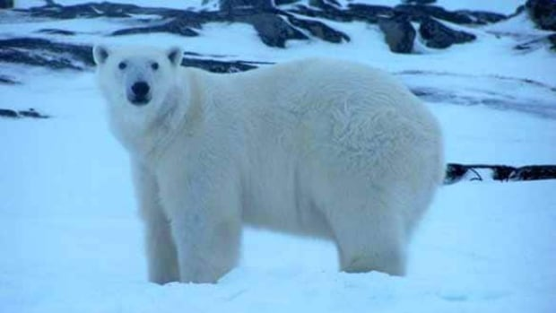 A file photo of a polar bear spotted in late 2013 in Black Tickle, a small island community off the southeastern coast of Labrador, where one resident says a bear was spotted looking in their window this week.